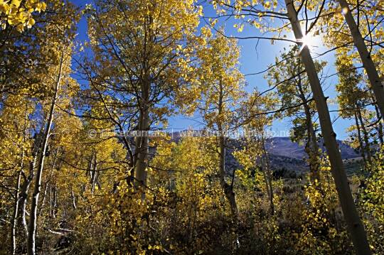 Grove of quaking aspen trees (Populus tremuloides) near Sherwin Creek in the Eastern Sierra, Mammoth Lakes region, California