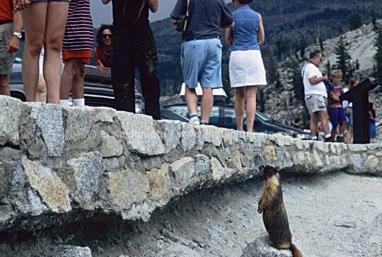A yellow-bellied marmot begs for food at Olmsted Point in Yosemite National Park, California, United States of America