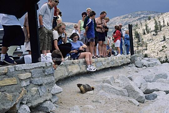 Park visitors feeding a yellow-bellied marmot at Olmsted Point in Yosemite National Park, California, United States of America