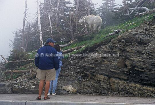 Park visitors admiring a mountain goat at Logan's Pass in Glacier National Park, Montana, United States of America