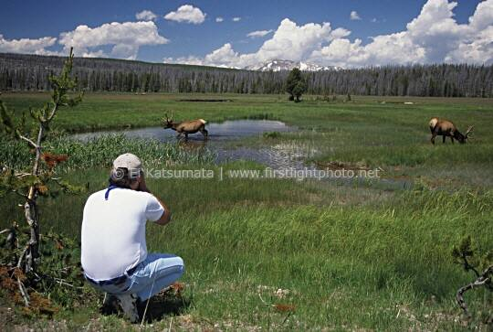 A park visitor taking photos of elk at Yellowstone National Park, Wyoming, United States of America