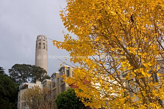 Autumn gingko tree with Coit Tower in the background, San Francisco, California, United States of America
