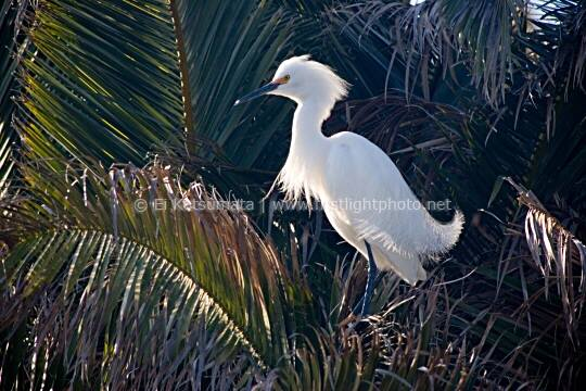 Snowy Egret (Egretta thula) at the Palo Alto Baylands Preserve on San Francisco Bay, California, United States of America