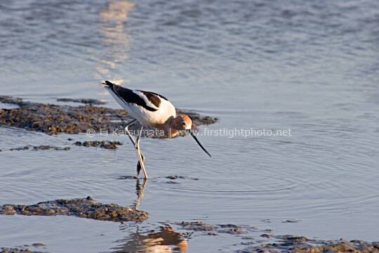 American Avocet (Recurvirostra americana) in the tidal marsh at Palo Alto Baylands Preserve on San Francisco Bay, California, United States of America