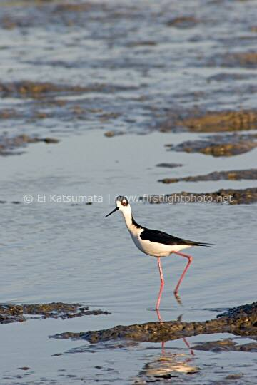 Black-necked Stilt (Himantopus mexicanus) wading in the tidal marsh at Palo Alto Baylands Preserve on San Francisco Bay, California, United States of America