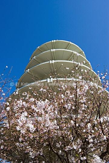 Peace pagoda and cherry blossom tree in bloom at Peace Plaza in Japantown, San Francisco, California