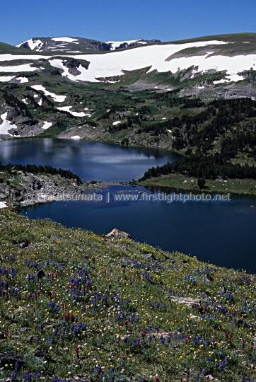 Wildflowers on the slopes above Twin Lakes along the Beartooth Scenic Byway, Shoshone National Forest, Wyoming, United States of America