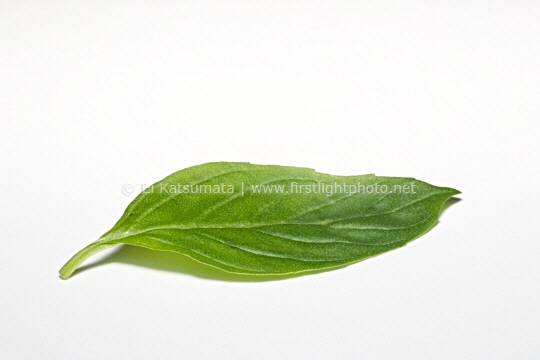 Thai basil leaf (Ocimum basilicum) on white background