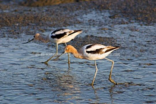 A pair of American avocets (Recurvirostra avosetta) wading in the mud at Palo Alto Baylands Preserve along the San Francisco Bay shoreline in California