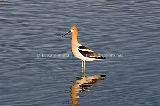 American avocet (Recurvirostra avosetta) at Palo Alto Baylands Preserve along the San Francisco Bay shoreline in California