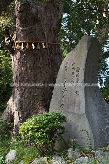 Tree with shimenawa straw rope and rock with engraving at Hiei jinja shrine, Shuzenji, Izu Peninsula, Shizuoka Prefecture, Japan