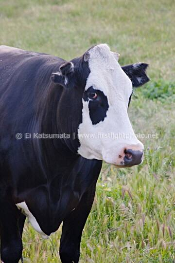 Cow in pasture looking at camera in the Altamont Pass area, Alameda County, California