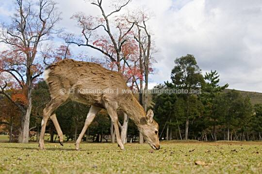 A tame deer in Nara Park during autumn, Nara, Kansai Region, Japan