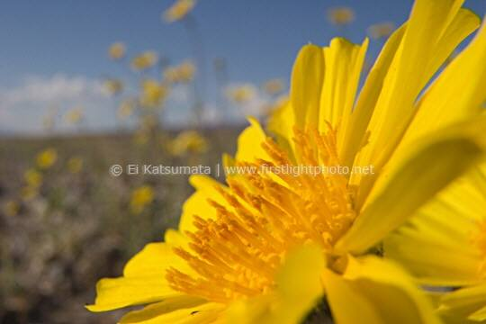 Desert sunflower aka desert gold (Gerea canescens) in bloom at Death Valley National Park, California, United States of America