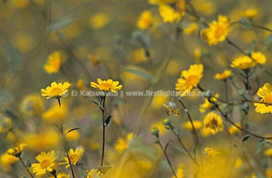 Field of desert gold sunflowers (Geraea canescens), Death Valley National Park, California, United States of America