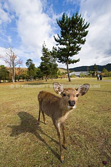 A curious tame deer at Nara Park, Nara, Kansai Region, Japan