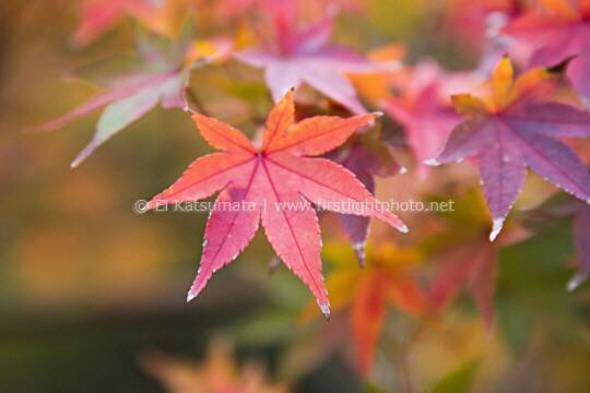 Detail of Japanese maple (Acer palmatum) leaves in autumn colors, Kyoto Imperial Park, Kyoto, Kansai Region, Japan