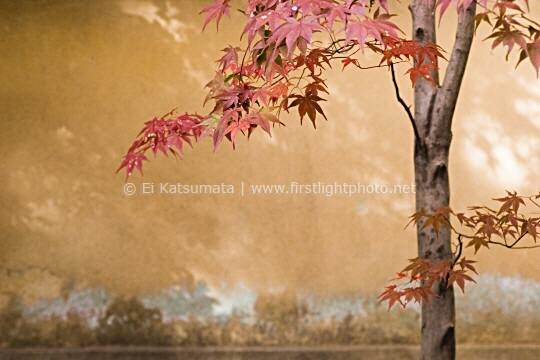 Japanese maple (Acer palmatum) during autumn at Korin-in, which is a subtemple of Daitokuji Temple, Kyoto, Kansai Region, Japan