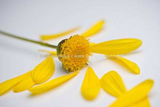 Yellow daisy flower with all but one petal pulled off