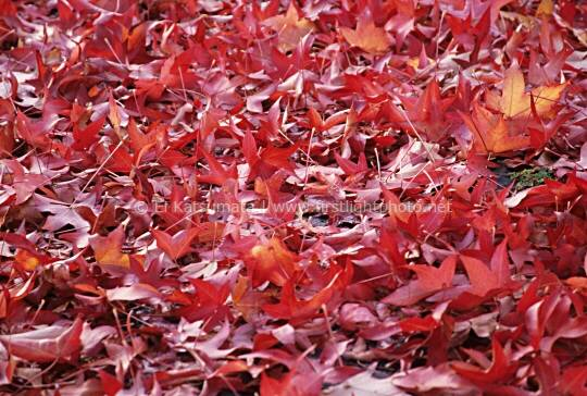 Fallen maple leaves in their autumn color carpet the ground