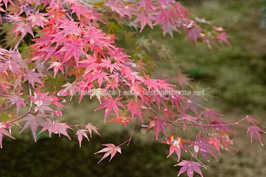 Japanese maple (Acer palmatum) during autumn at Daitokuji Temple, Kyoto, Kansai Region, Japan