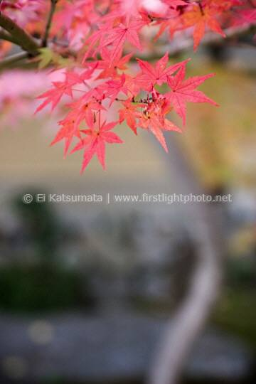 Detail of Japanese maple leaves (Acer palmatum) during autumn at Daitokuji Temple, Kyoto, Kansai Region, Japan
