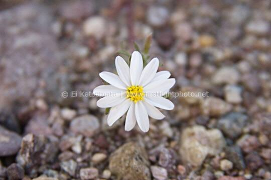 Desert star flowers (Monoptilon bellioides) at Death Valley National Park, California, United States of America