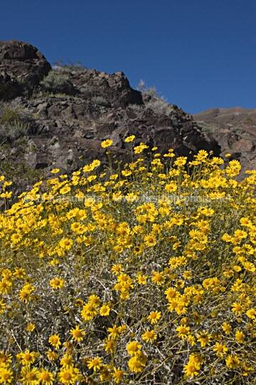 Yellow brittle bush (Encelia farinosa) wildflowers at Death Valley National Park, California, United States of America