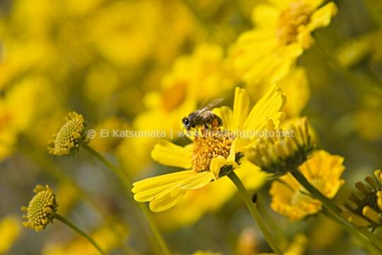 Bee pollinating a yellow  brittlebush (Encelia farinosa) wildflower at Death Valley National Park, California, United States of America
