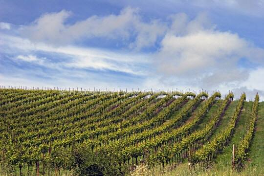 Vineyard in Sonoma County, California, United States of America