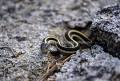 Garter snake (Thamnophis sp.) near Shirley Creek, Tahoe National Forest, California, United States of America